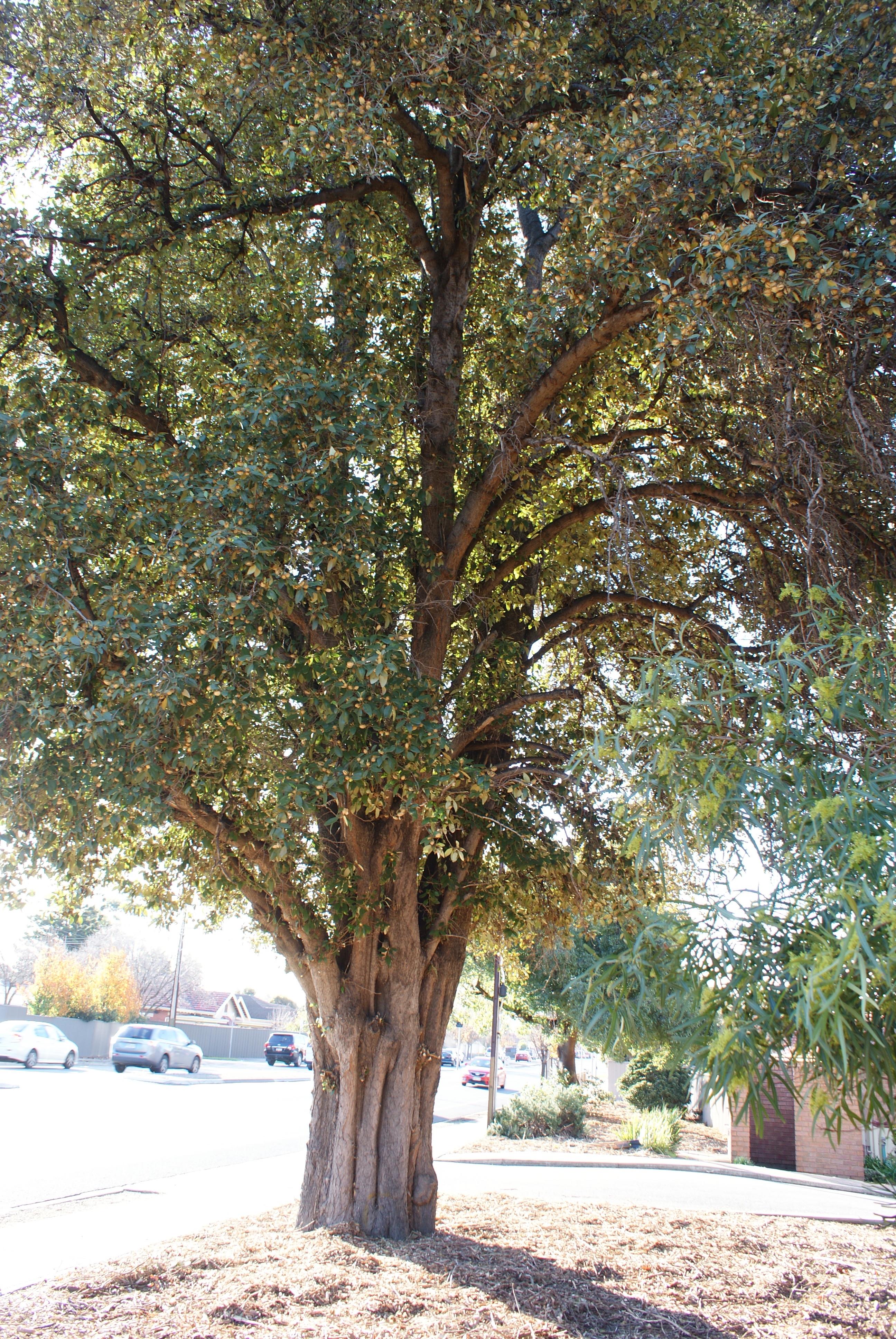 National Trust Pyramid Tree Norfolk Island Hibiscus Lagunaria